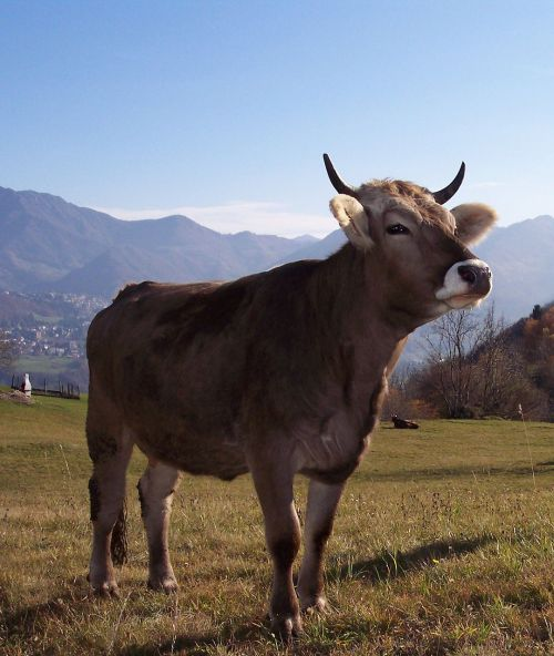 cow mountain prato