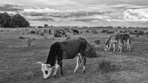 cow animal farm