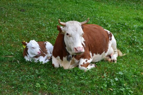 cow calf agriculture