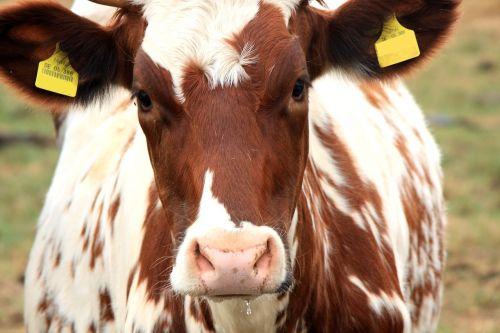 karvė,rudoji karvė,ruda,gyvūnas,jautiena,pieno karvė,pieva,ganykla,pienas,ūkis,veršelis,Žemdirbystė,įdomu,galvijai