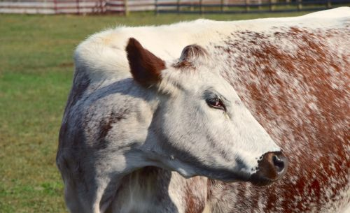 cow farm woodstock farm animal sanctuary