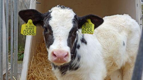 cow calf animal