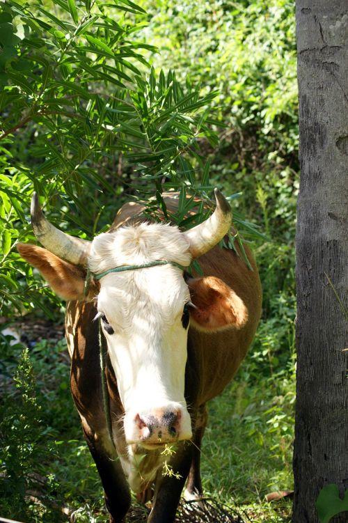 cow ox jungle
