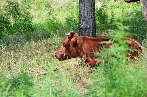 karvė,gamta,žalias,miškas