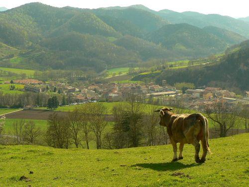 cow mountain ecology