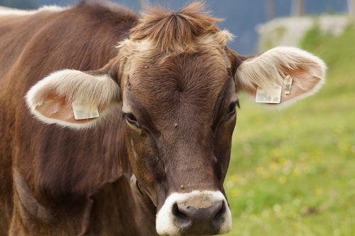cow beef livestock