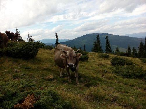 cow the carpathians summer