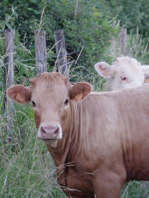 cow field pre