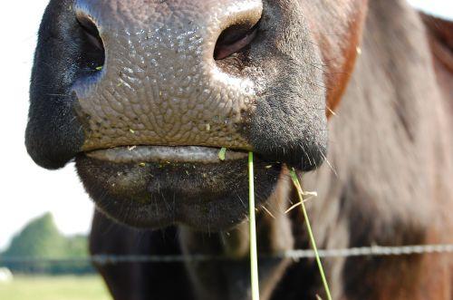 cow pasture ruminant