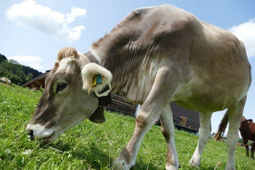 cow cattle allgäu