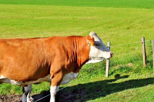 cow beef ruminant
