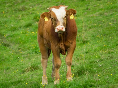 cow calf stand
