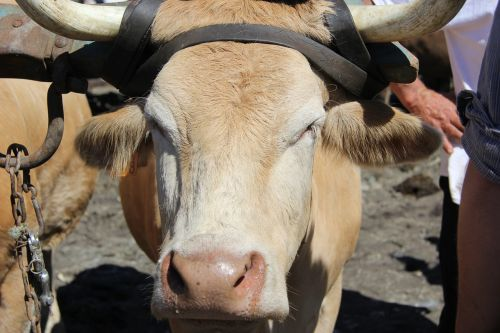 cow halter horns
