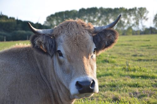 cow cattle ruminant