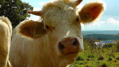 cow animal cow head