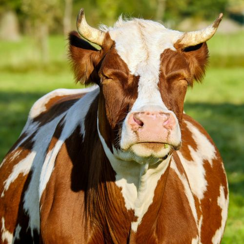 cow brown white spotted