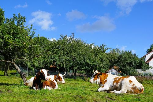 karvė,ganykla,laukas,pieva,miškas,medis,gamta,galvijai,gyvūnas,ganyti,kalnai,Žemdirbystė,Allgäu rudas,žolė,veidas,gyvulių laistymas,žindenė,rudos karvės,kraštovaizdis,mėsa,klee,tvora,šventė,kalnų pievos,mėsininkas,ochs,didelis,dėmės,balta,mėlynas,dangus,debesys,atsigavimas,kepsnys,skanus,gyvulininkystė,teisus,krūmas,ausys,snukis,kojos,pilvas,bacon,skerdyklos,kaimas,kelias,žygis,idiliškas,Alpių,saulėtas