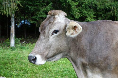 cow milk agriculture