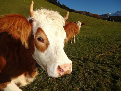 cow simmental cow steering