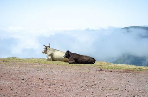 cow animal pasture land