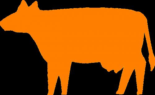 cow cows rural