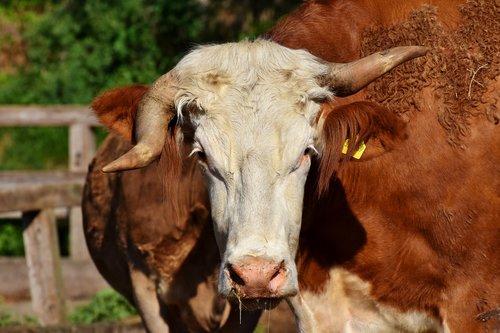 cow  kuhschnauze  foot