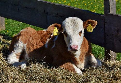 cow  calf  kuhschnauze