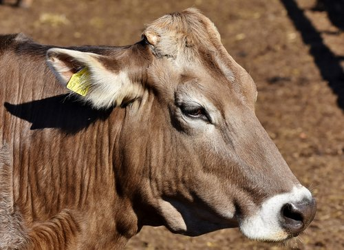 cow  beef  agriculture