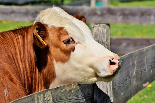 cow  beef  cattle