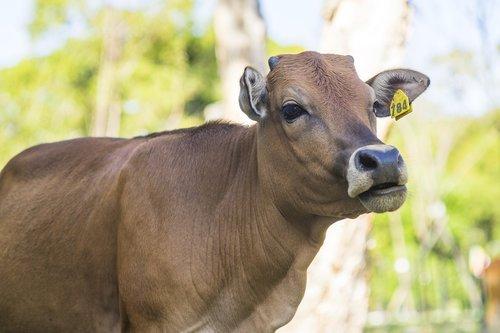 cow  animal  pavement