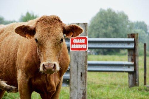 cow  cow brown  portrait cow
