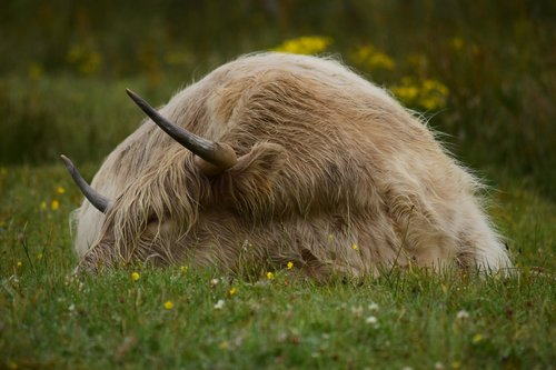 cow  horns  cattle