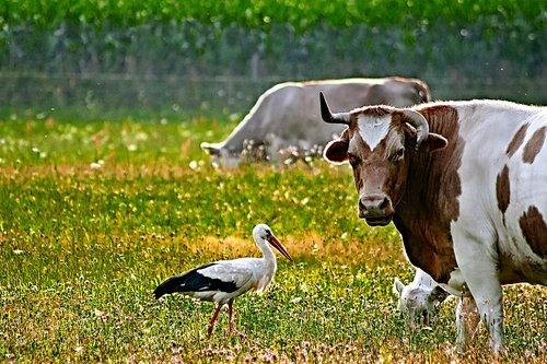 cow  stork  meadow