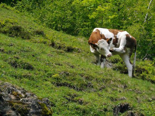 cow austria alm