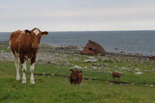 cow  heifer  cows
