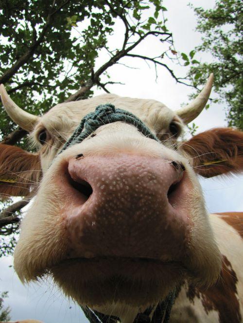 cow four-legged animal