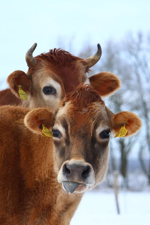 cow  ruminant  animal