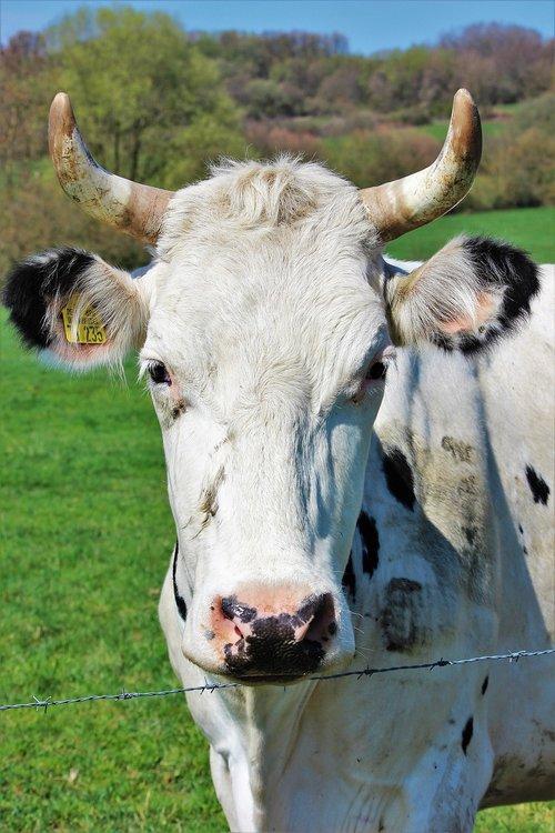 cow  horns  animal
