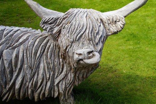 cow  beef  scotland