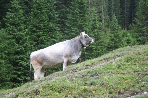 cow ox steep