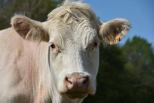 cow  ruminant  livestock