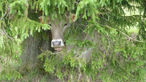 cow tree hiding place