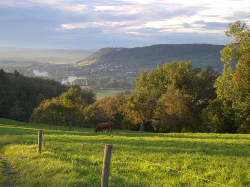 cow grazing pasture