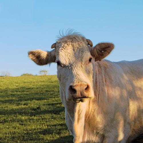 cow white sky