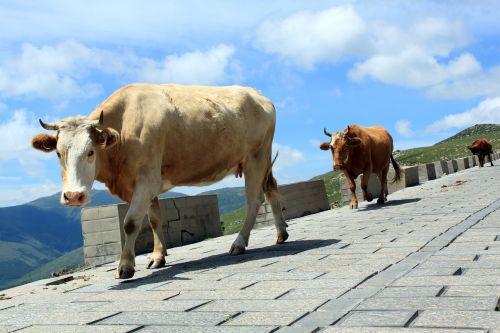 cow animal stroll