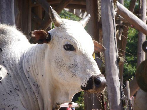 cow animal zoo
