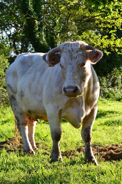 cow cash cow white cow