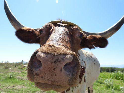 cow ox horns