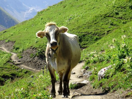 cow animal cattle