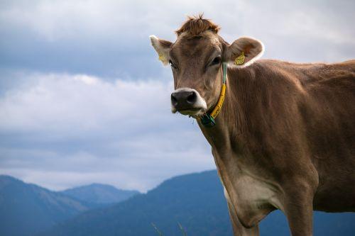 cow alpine mountains